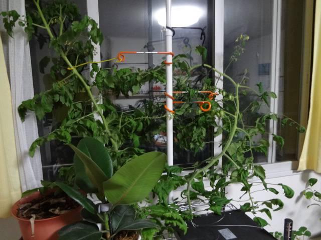 室内水耕栽培ミニトマト