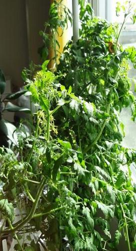 木ボケしたミニトマト