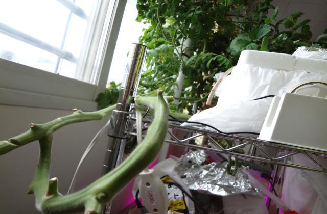 ミニトマトの折れた茎